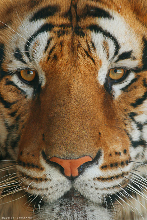 Suberian Tiger