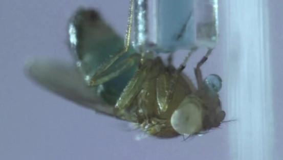 Flies drinking alcohol