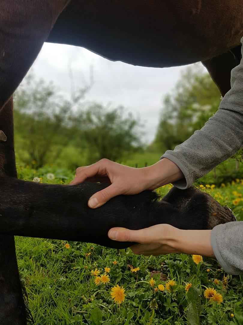 Test des sésamoïdes sur l'antérieur d'un cheval