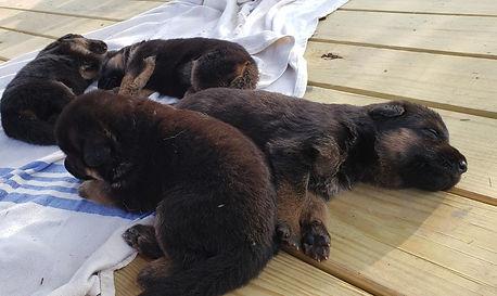 puppies litter i von datchiburg.jpg