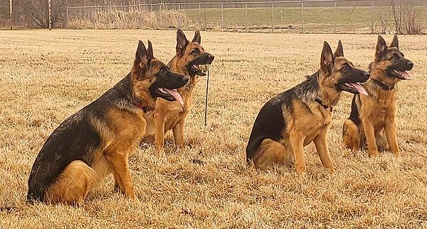von-Infernum-german-shepherds-females.pn