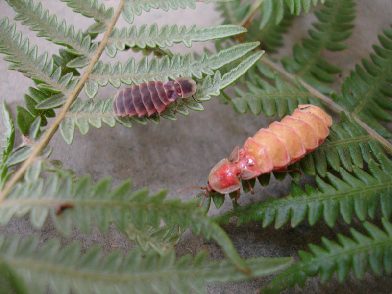 Nyctophila reichii female (right) & Lampyris iberica female (left) - Expedition Portugal 2006 - with Gonçalo Figueira