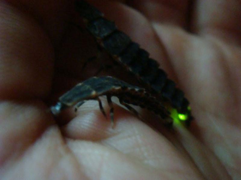 Pyrocoelia rufa larva - Expedition China (Wuhan & Shandong prov.)