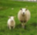 Sheep farm, sheep, McDonald Agri-Fert, New Zealad Farms, Lambing Products