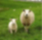 Shhep Farm, McDonalad Agri-Fert Farming Products, Sheep farming products, Sheep health, Lambing, NZ lambing