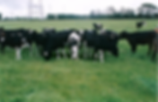 Cows, dairy shed, McDonald Agri-Fert, Dairy farming, farming industry