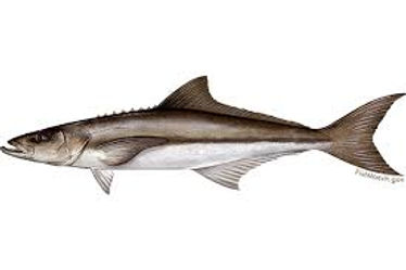 Tampa Fishing Charters/ Cobia / 6332 S Renellie Ct.Tampa, FL 33616