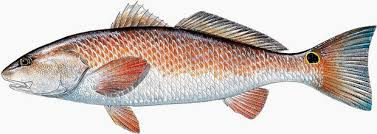 Tampa Fishing Charters / Redfish / 6332 S Renellie Ct.Tampa, FL 33616
