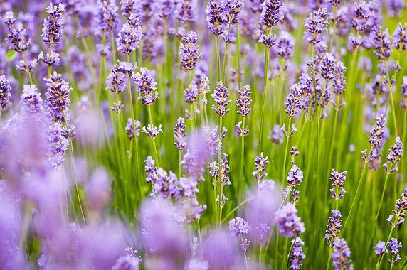 lavender-1128809.jpg