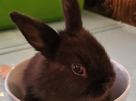 Black baby bunny