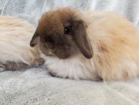 Fuzzy Holland Lop
