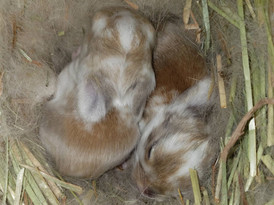 Holland lop newborn bunnies