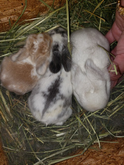 Holland Lop Babies