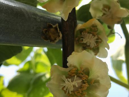 レインボーレッドと黄金甘露の花続々と咲き始めました🌸