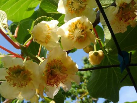 イエロー系キウイの花が咲き始めました🌼