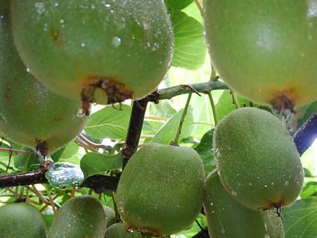 一番早い品種の黄金甘露