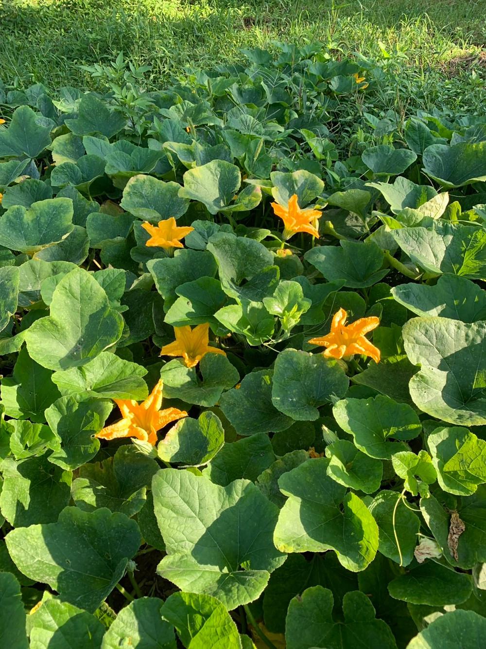 早朝のかぼちゃ畑