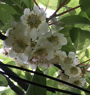 続々と花が咲きレインボーレッドと黄金甘露は小さな実に🥝