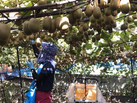 黄金甘露収穫始まりました。