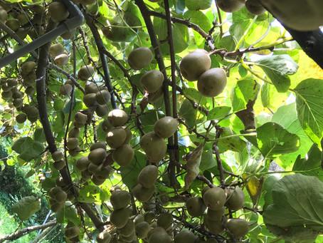レインボーレッド収穫