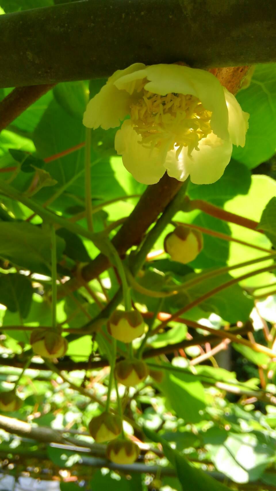ヘイワードの花