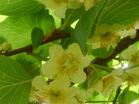 黄金甘露の花も咲いてきました