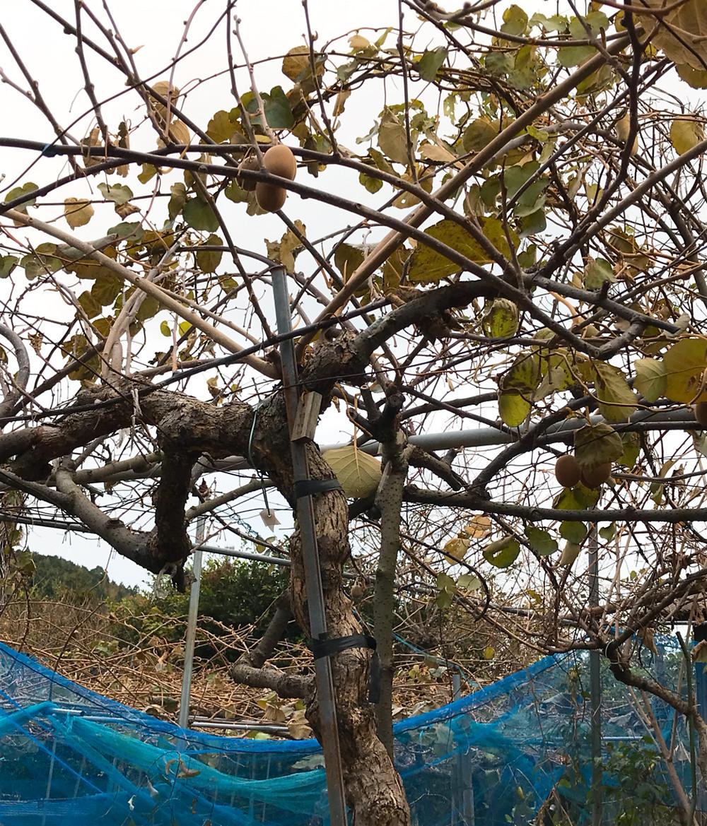 収穫後の木