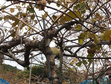 収穫を終えた木たち