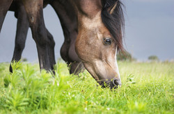 brown-horse-eating-grass-over-pasture-background,-close-up-portrait-000075341963_Large