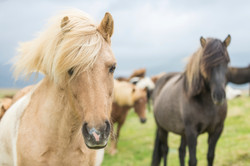 Close-portrait-of-Icelandic-Wild-Horses-000050565672_Large
