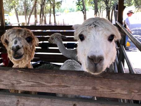 Out of the Box Date- Alpacas