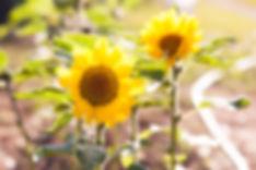 makoha-sunflowers-1.jpg