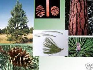 A collection of photographs of Ponderosa Pine trees, bark, cones, and needles.