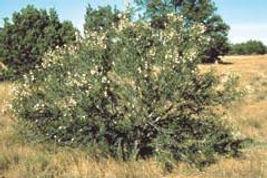 A bitterbrush bush.