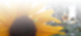 sunflowerfade.png