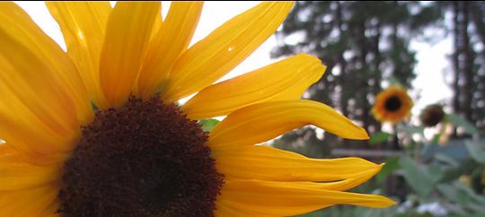 sunflowerfade.png