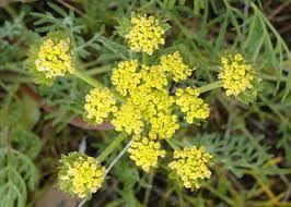 Closeup of Lomatium flower.
