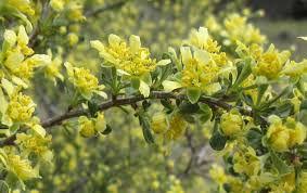 Close up of bitterbrush flowers.