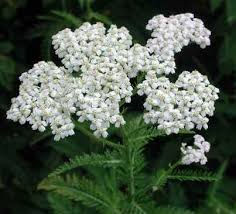 Close up of white Yarrow flower.