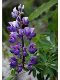 Close up of purple Lupine flower.