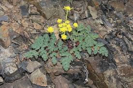 Lomatium flower and leaves.
