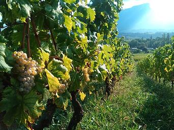 Vignes et Mont Granier.jpg