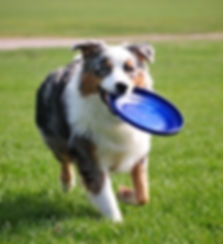 dog-holds-a-frisbee-picture-id488474559_