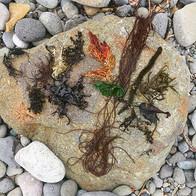 色々な海藻。