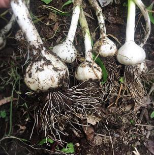 国産無農薬ニンニク。結構長い間土の中に放置。採れて感動。