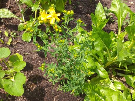 Plantes comestibles et propriétés diverses