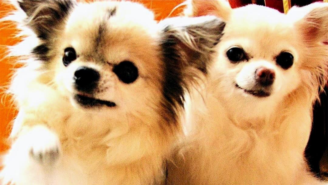 %40KlaudiasTiersitting_Chihuahua_Hundebe