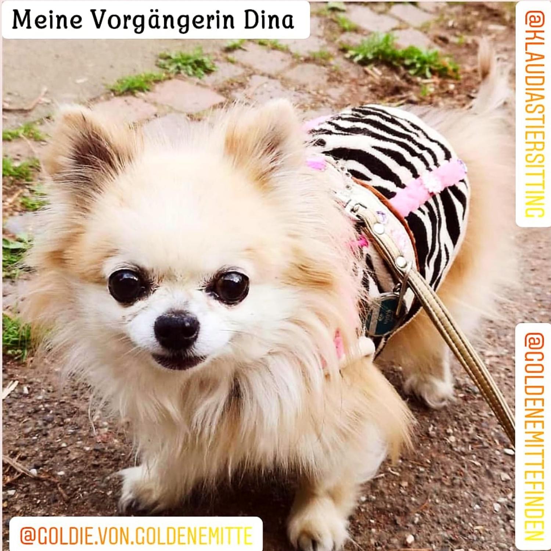 @KlaudiasTiersitting_Coaching_Chihuahua_