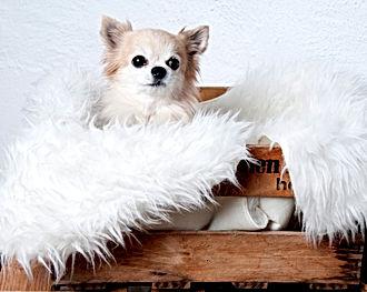 @Klaudias Tiersitting: Meine frühere Chihuahua Dina (Wiggi von Wichtelhof) ©Klaudia Maria Hornakova