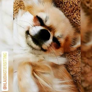 @Klaudias Tiersitting: Meine Chihuahua Hündin @Goldie.von.GoldeneMitte ©Klaudia Maria Hornakova